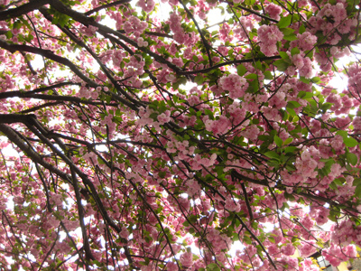 Under Sakura Tree by Aoife city womanchile, on Flickr