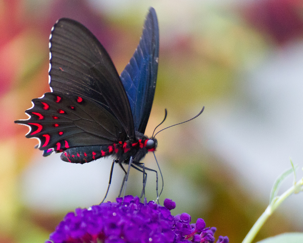 Blue and Red Butterfly by frankpierson, on Flickr
