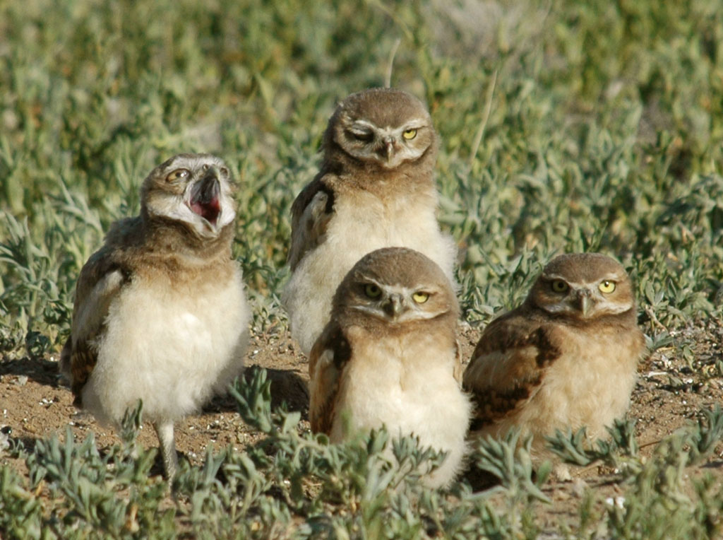 Burrowing Owls in summer, Rocky Mountain by USFWS Headquarters, on Flickr