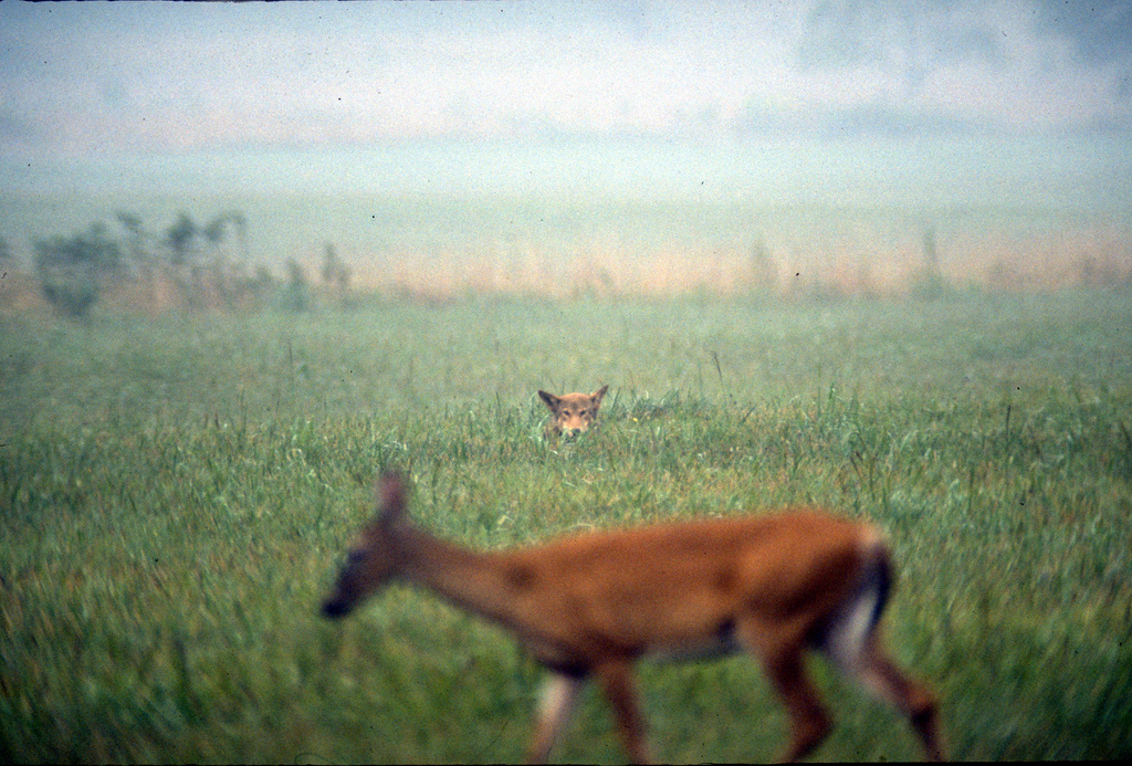 Red wolf watching deer at Cades Cove - G by Red Wolf Recovery Program, on Flickr