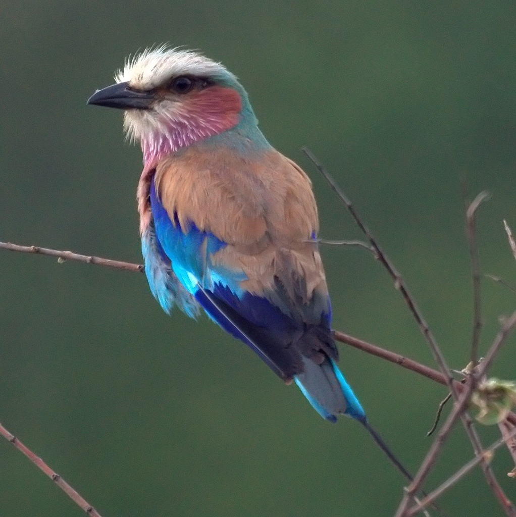 Lilac-breasted Roller by Mike