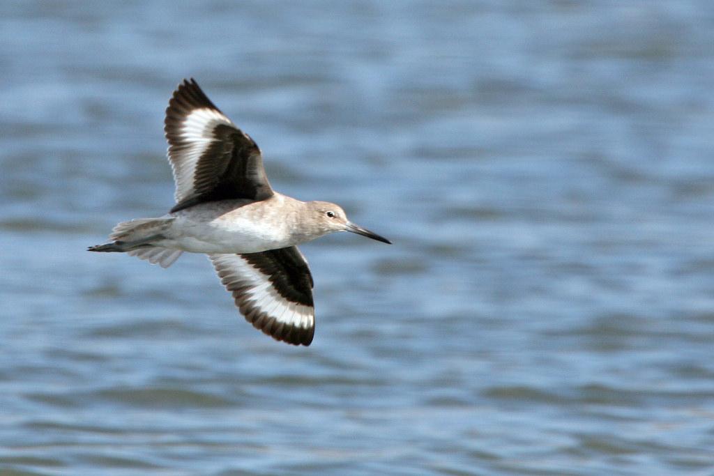 Willet in Flight willet-7958 Tringa semi by mikebaird, on Flickr