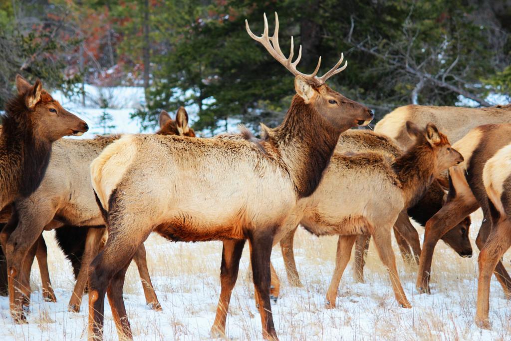 Elk: Wildlife beauty in Jasper National by Peggy2012CREATIVELENZ, on Flickr