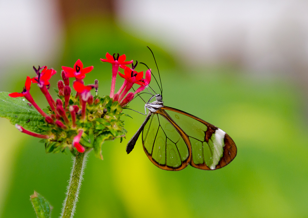 Greta Oto (Glasswing) Butterfly by scotbot, on Flickr