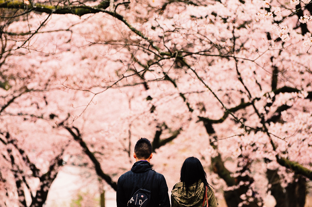 Just us and the sakuras. by kaybee07, on Flickr