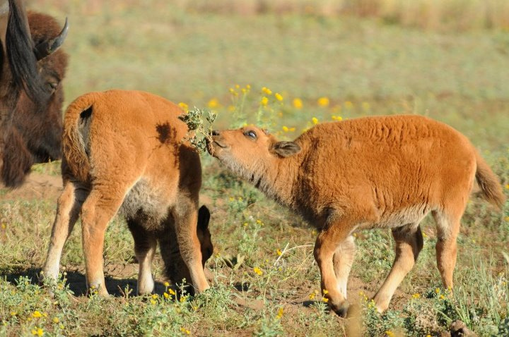 Bison Calves by USFWS Headquarters, on Flickr