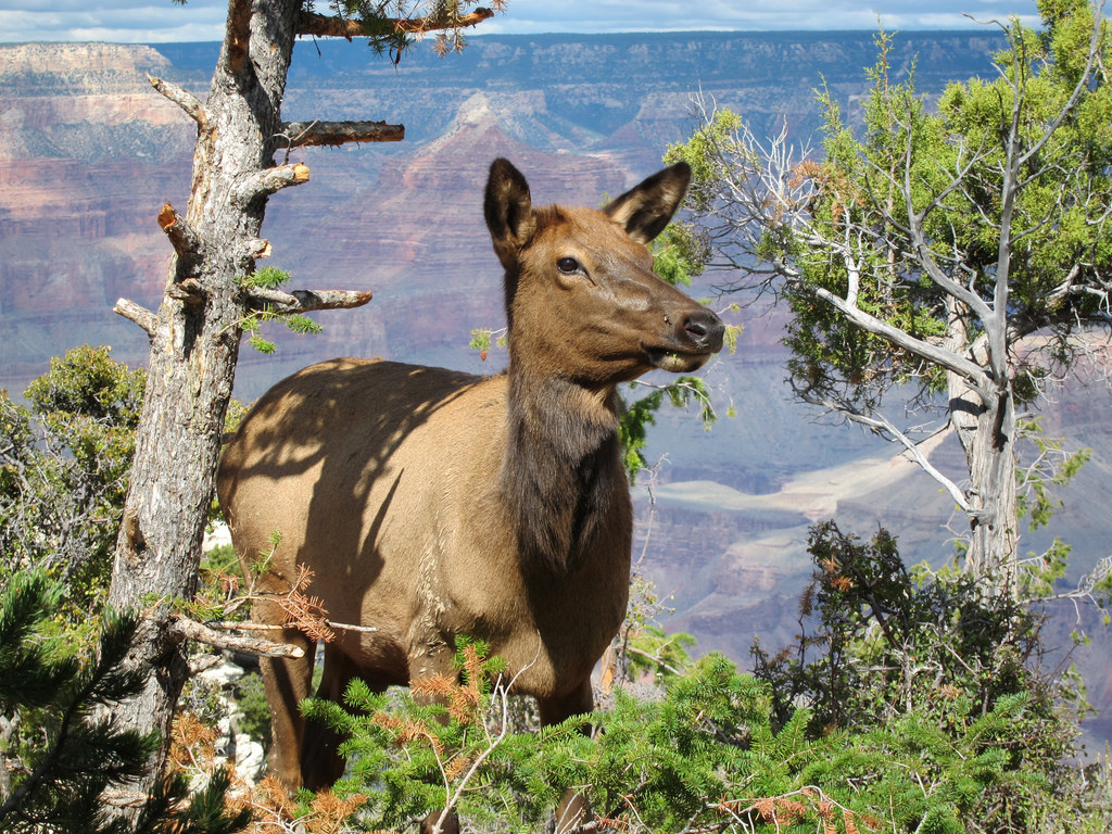 Grand Canyon Nat Park: Elk Browsing in F by Grand Canyon NPS, on Flickr