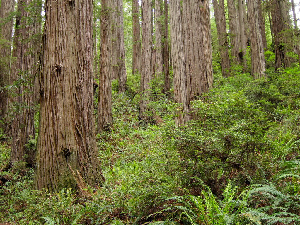 Redwoods (Sequoia sempervirens) on Jeded by MiguelVieira, on Flickr