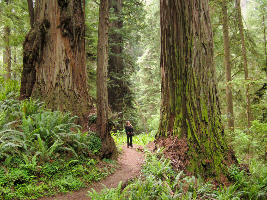 Hiker and redwoods (Sequoia sempervirens by MiguelVieira, on Flickr