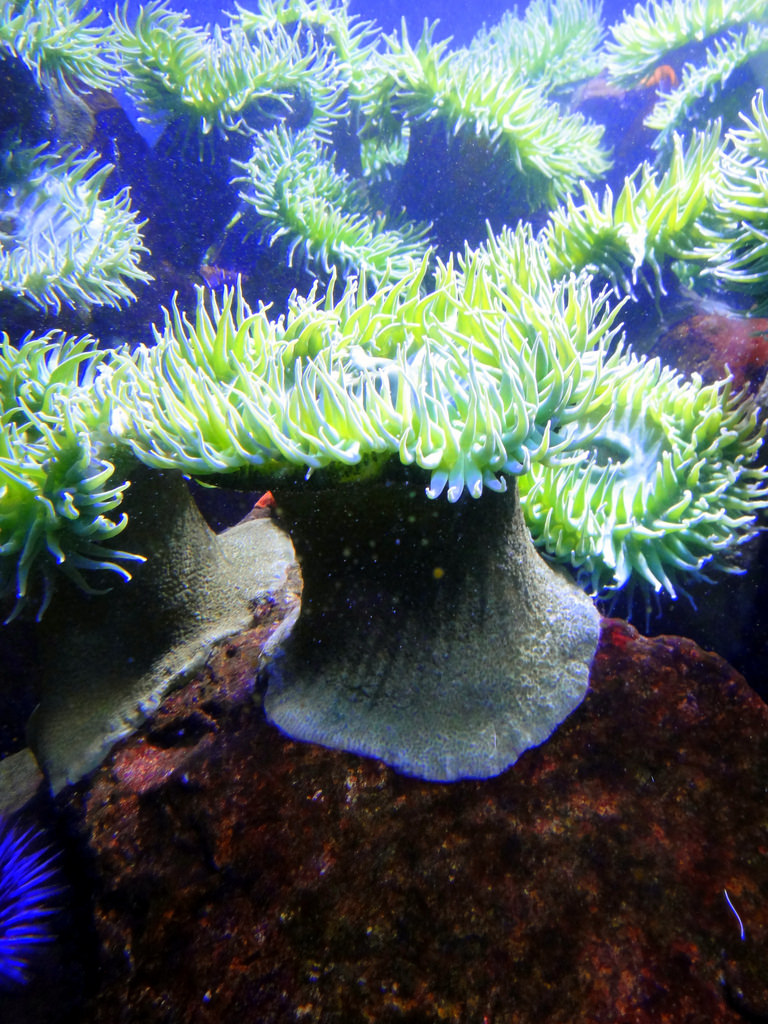 Bright green cold water sea anemone, New by mattk1979, on Flickr