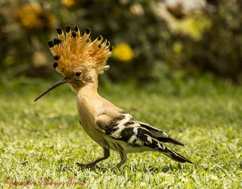 Hoopoe by AntoGros, on Flickr