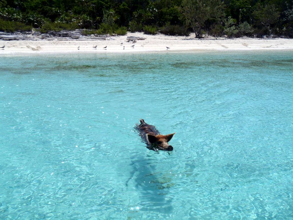 08.2012 Vorobek Bahamas - swimming pigs by cdorobek, on Flickr