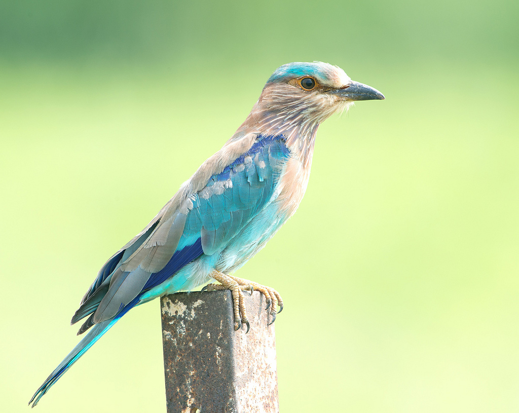 Indian Roller (View Large) by Koshyk, on Flickr