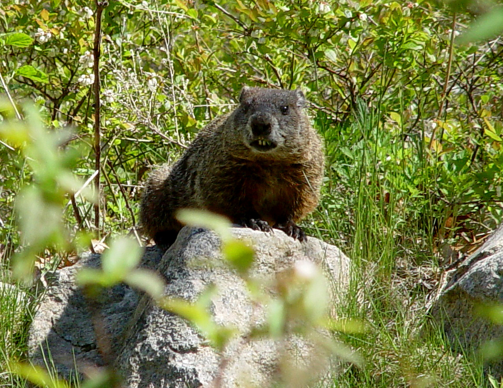 Photo of the Week - Woodchuck (RI) by U. S. Fish and Wildlife Service - Northeast Region, on Flickr