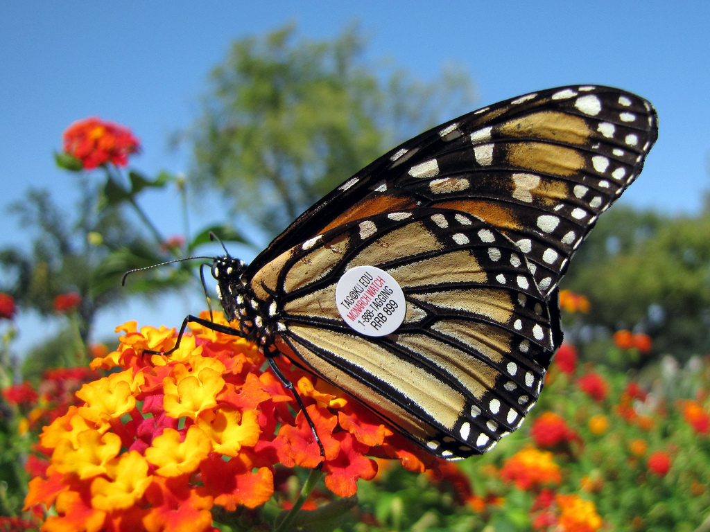 Tagged Monarch Butterfly by treegrow, on Flickr