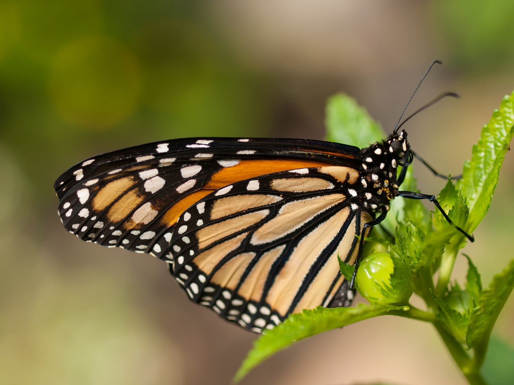 Monarch Butterfly by wwarby, on Flickr