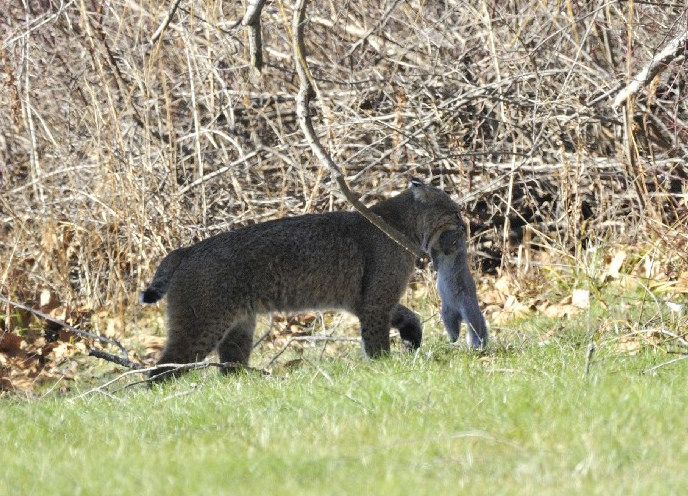 Photo of the Week - Bobcat (MA) by U. S. Fish and Wildlife Service - Northeast Region, on Flickr