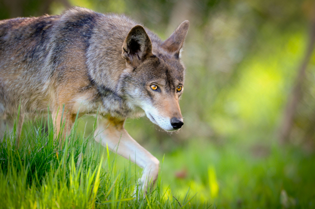 Red wolf at Point Defiance Zoo and Aquar by USFWS/Southeast, on Flickr