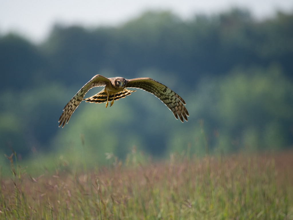 Northern Harrier by U. S. Fish and Wildlife Service - Northeast Region, on Flickr