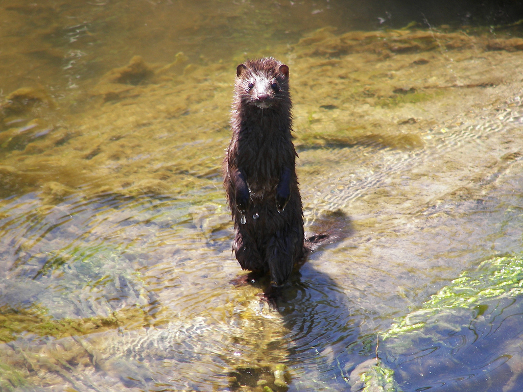 Mink at Rachel Carson National Wildlife by U. S. Fish and Wildlife Service - Northeast Region, on Flickr