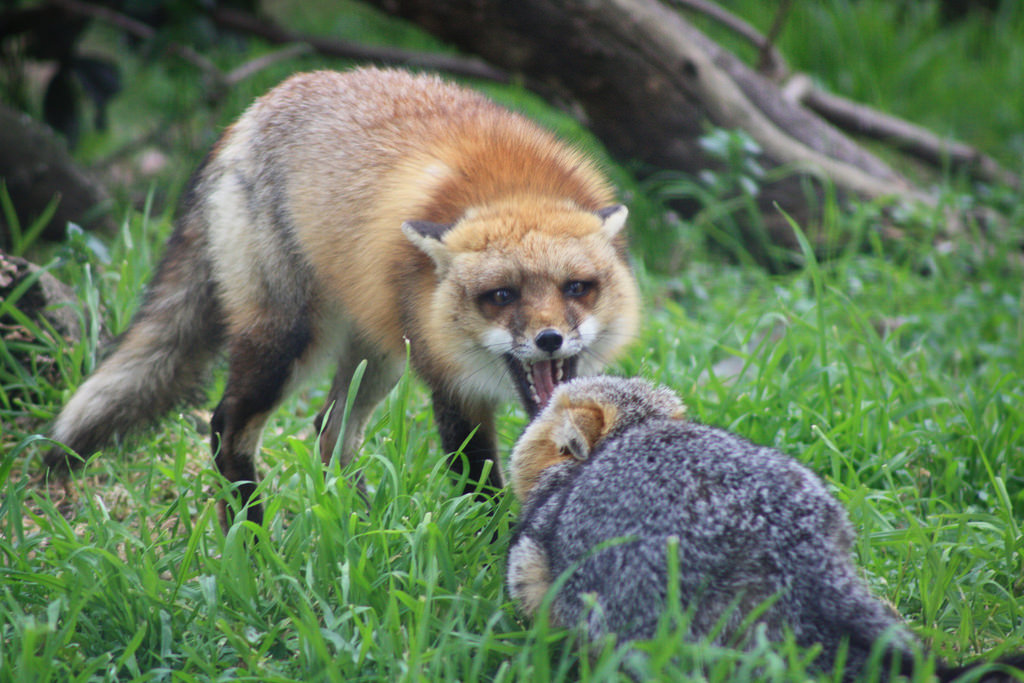 Red and Grey Foxes establishing territor by USFWS Pacific Southwest Region, on Flickr