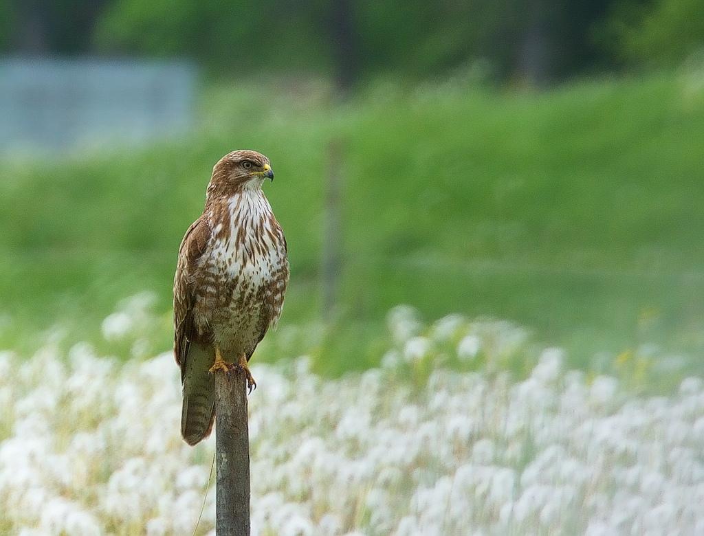 Ormvråk / Common Buzzard by Stefan Berndtsson, on Flickr