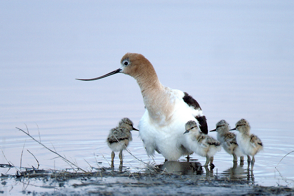 American Avocet chicks and adult by USFWS Headquarters, on Flickr