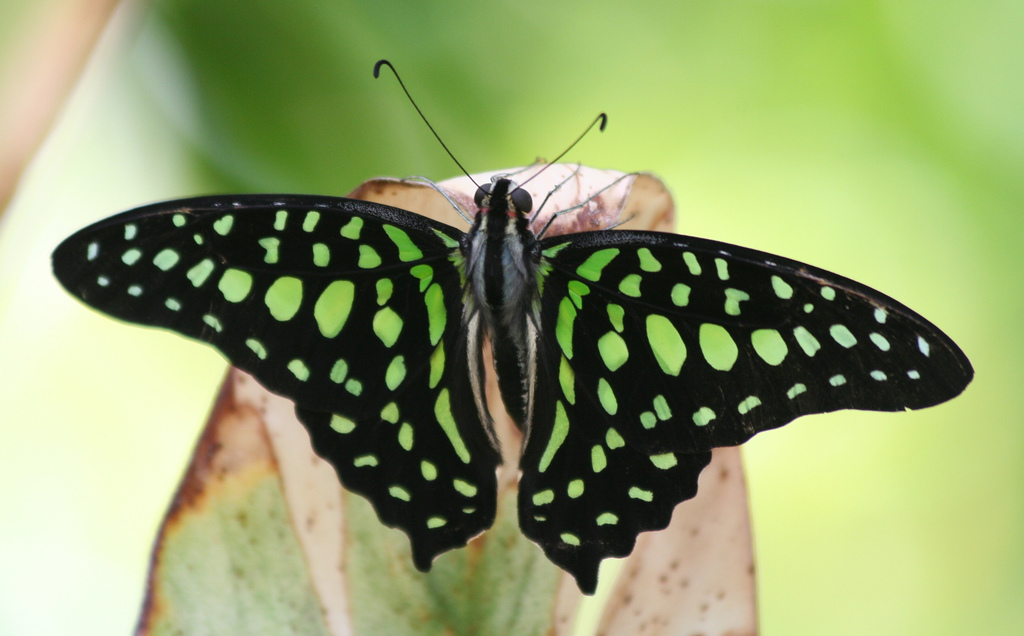 Unknown Butterfly (Black with Green Spot by Ber