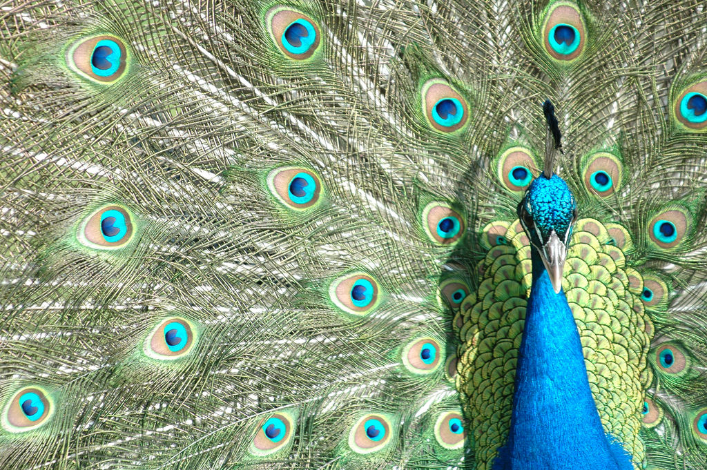 Peacock by frielp, on Flickr