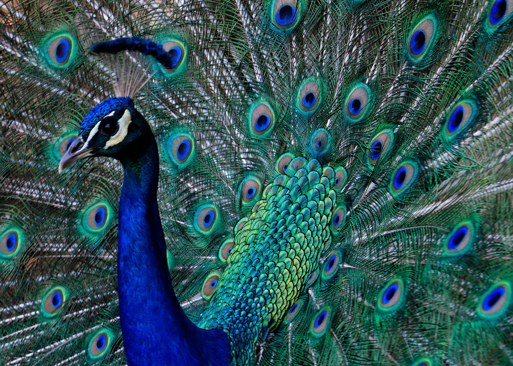Photo of Blue Peafowl Peacock with pluma by Madison Berndt, on Flickr