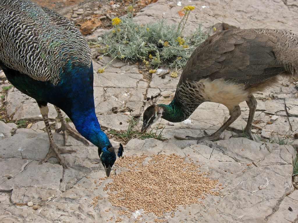 peacocks eating lunch on Lokrum by Anosmia, on Flickr