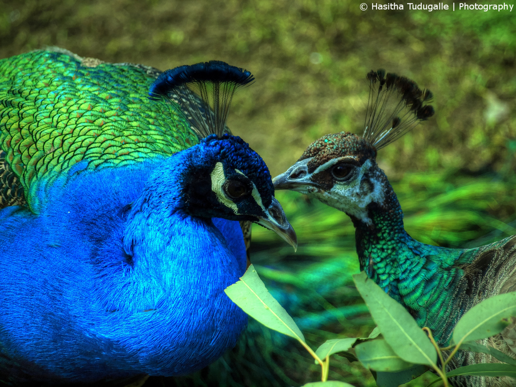 Peacock and Peahen by H.A.S PhotoDesigns~Heart+Soul~, on Flickr