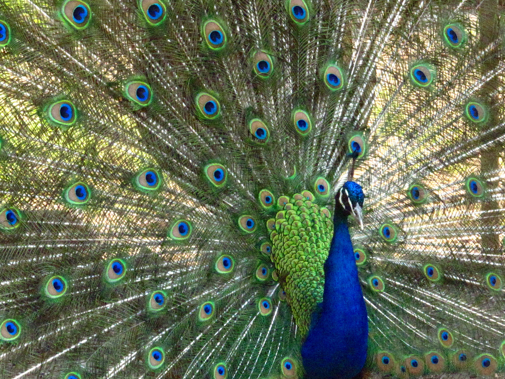 A Peacocks Beautiful Opened Feathers-Kel by Creative illusions-Nature Photography-Kellie H, on Flickr