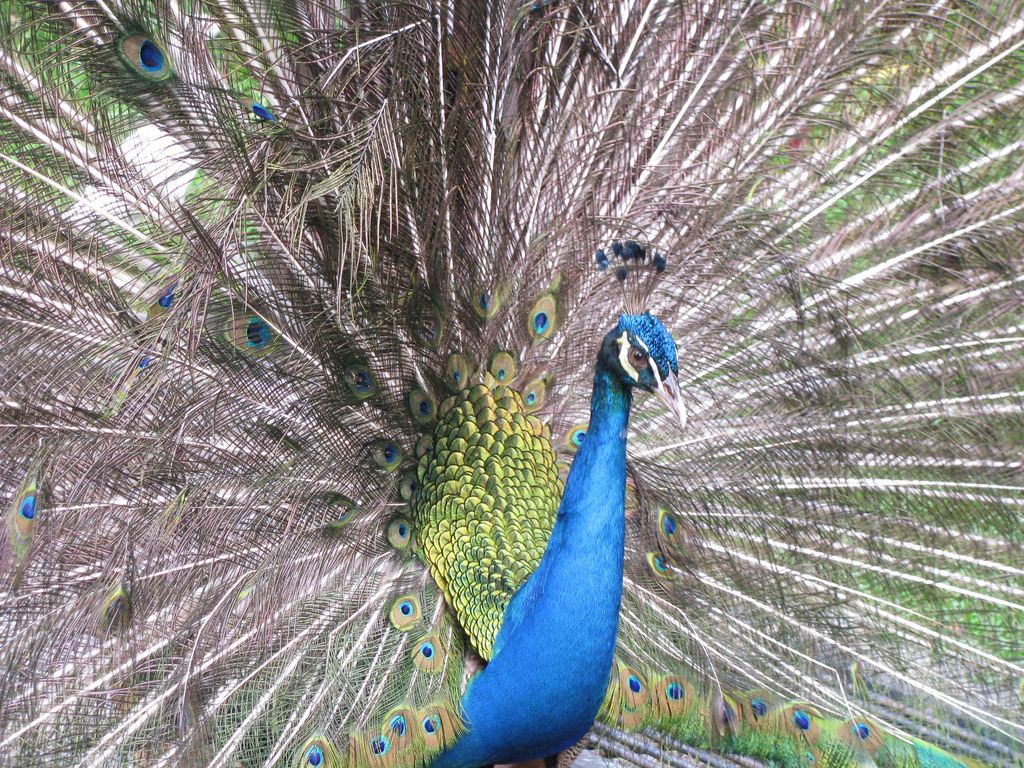 Stupendous peacock display by shankar s., on Flickr