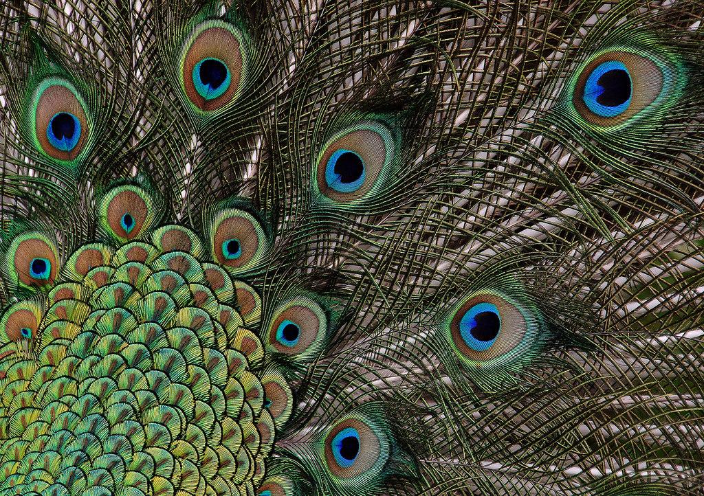 Peacock (11) by Bernard Spragg, on Flickr