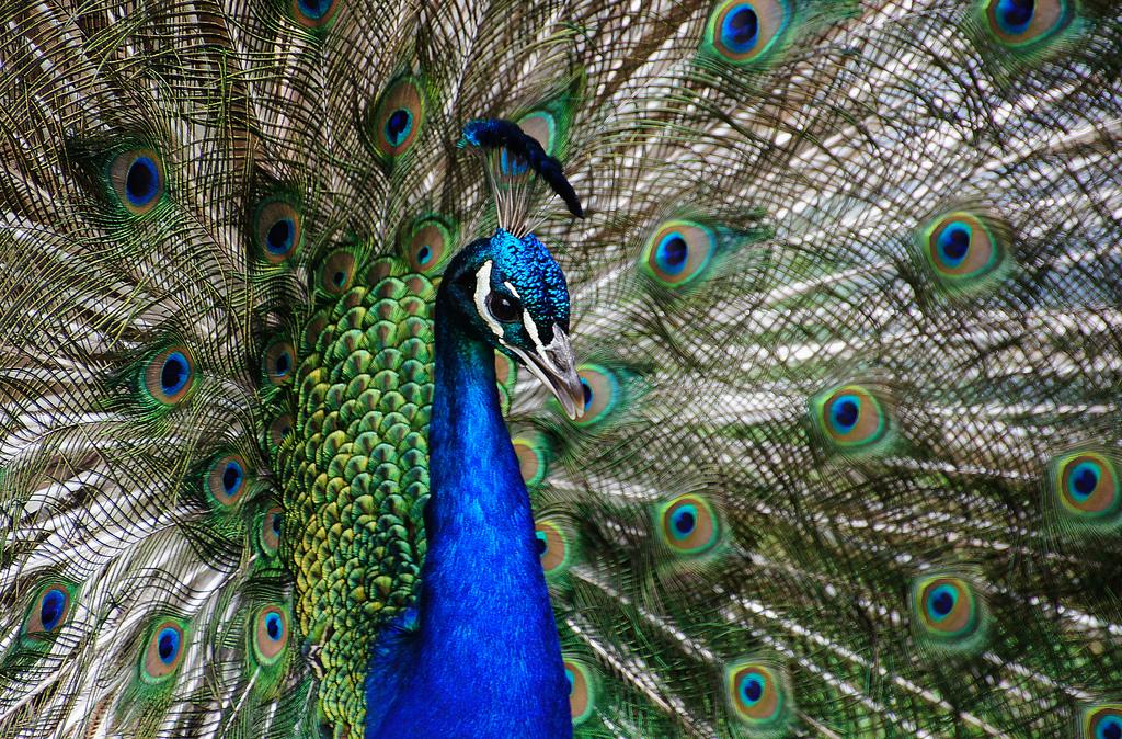 Peacock (1) by Bernard Spragg, on Flickr