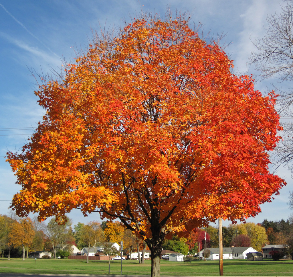 Acer saccharum (sugar maple tree in fall by James St. John, on Flickr