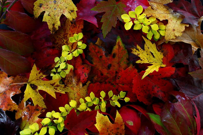 Fall Foliage Leaves by ForestWander.com, on Flickr